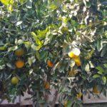 und bald sind die Orangen reif...